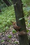 Esquilo vermelho na árvore fotos de stock