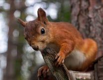 Esquilo vermelho na floresta fotografia de stock