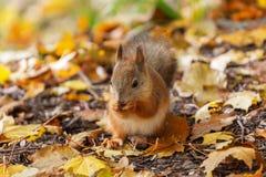 Esquilo vermelho na floresta do outono foto de stock royalty free