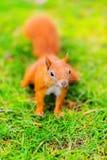 Esquilo vermelho na grama Fotos de Stock Royalty Free