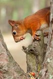 Esquilo vermelho na natureza Imagem de Stock