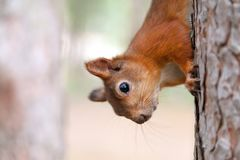 Esquilo vermelho na natureza Imagens de Stock