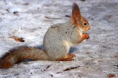 Esquilo vermelho na neve foto de stock royalty free