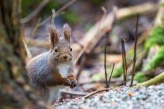 Esquilo vermelho na terra Fotos de Stock