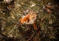 Esquilo vermelho no breanch Foto de Stock