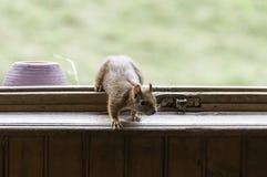 Esquilo vermelho no indicador Imagem de Stock