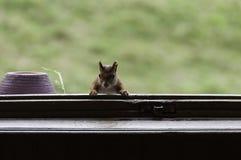 Esquilo vermelho no indicador Imagem de Stock Royalty Free