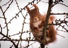 Esquilo vermelho pequeno bonito que ri em uma árvore de larício foto de stock royalty free