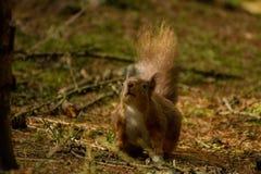 Esquilo vermelho pronto para pular fotos de stock