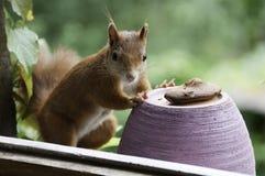 Esquilo vermelho que come o bolo Imagens de Stock Royalty Free