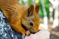 Esquilo vermelho que come os pinhões de uma mão humana Imagens de Stock Royalty Free