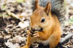 Esquilo vermelho que come os pinhões de uma mão humana Imagem de Stock