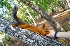 Esquilo vermelho que come os pinhões de uma mão humana Foto de Stock Royalty Free