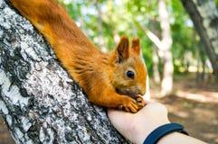 Esquilo vermelho que come os pinhões de uma mão humana Imagens de Stock