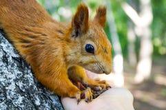Esquilo vermelho que come os pinhões de uma mão humana Fotografia de Stock Royalty Free
