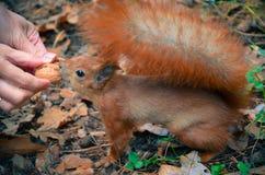 Esquilo vermelho que come uma porca da mão Fotografia de Stock Royalty Free