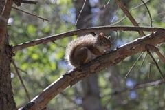 Esquilo vermelho que embebe acima o Sun Foto de Stock