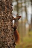 Esquilo vermelho que funciona na árvore Fotografia de Stock