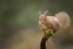 Esquilo vermelho que olha a câmera Fotografia de Stock Royalty Free