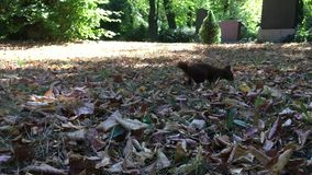 Esquilo vermelho que procura o alimento sob algumas folhas em um parque/cemitério em Berlim - 4K video estoque