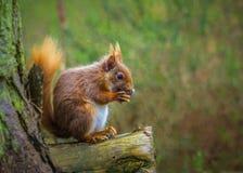 Esquilo vermelho raro que come a porca Fotos de Stock