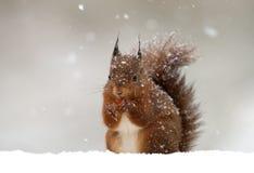Esquilo vermelho (Sciurus vulgar) Fotografia de Stock Royalty Free