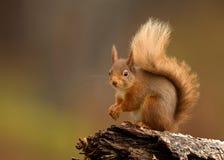 Esquilo vermelho (Sciurus vulgar) Imagem de Stock Royalty Free