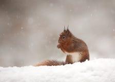 Esquilo vermelho (Sciurus vulgar) Fotos de Stock