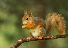Esquilo vermelho (Sciurus vulgar) Foto de Stock