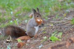 Esquilo vermelho, Sciurus vulgar Imagem de Stock Royalty Free