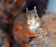 Esquilo vermelho (Sciurus vulgar) Fotos de Stock Royalty Free