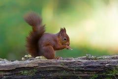Esquilo vermelho (Sciurus vulgar) foto de stock royalty free