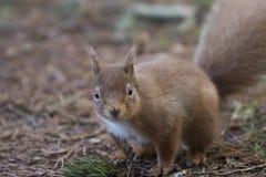 Esquilo vermelho, Sciurus vulgar, corredor selvagem, assento, pulando, nos pinheiros, a terra no inverno, parque nacional do quar Foto de Stock Royalty Free