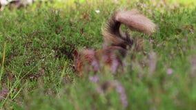 Esquilo vermelho, Sciurus vulgar, procurando por e comendo porcas no assoalho da urze em um julho ensolarado no quartzo defumado  video estoque