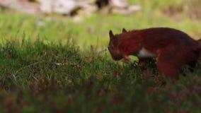 Esquilo vermelho, Sciurus vulgar, procurando por e comendo porcas no assoalho da urze em um julho ensolarado no quartzo defumado  filme