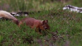 Esquilo vermelho, Sciurus vulgar, procurando por e comendo porcas no assoalho da urze em um julho ensolarado no quartzo defumado  vídeos de arquivo