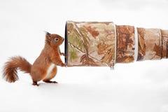 Esquilo vermelho (Sciurus vulgar) que levanta para a câmera e a lente grande Imagens de Stock Royalty Free