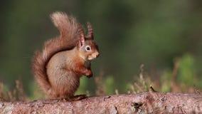 Esquilo vermelho, Sciurus vulgar, sentando-se e andando ao longo do ramo do pinho perto da urze nas florestas do nacional dos qua vídeos de arquivo