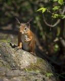 Esquilo vermelho, Tentsmuir Imagens de Stock
