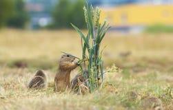 Esquilos à terra Fotos de Stock Royalty Free