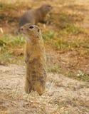 Esquilos à terra Imagem de Stock Royalty Free