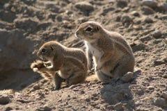 Esquilos à terra africanos Imagens de Stock