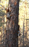 esquilos Fotografia de Stock