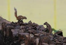 Esquilos indianos Imagem de Stock
