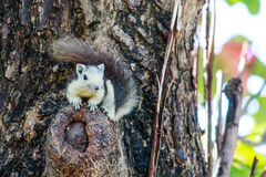 Esquilos na natureza Fotografia de Stock Royalty Free