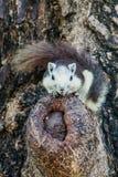 Esquilos na natureza Foto de Stock