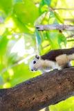 Esquilos na natureza Imagem de Stock