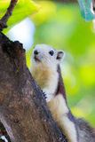 Esquilos na natureza Fotos de Stock Royalty Free