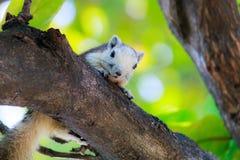 Esquilos na natureza Imagem de Stock Royalty Free