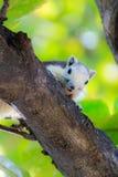 Esquilos na natureza Imagens de Stock
